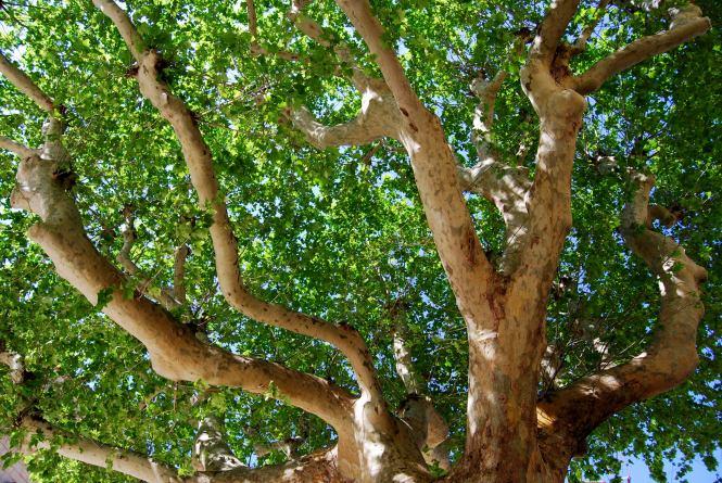 plane-tree_orange